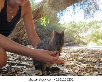 Feeding a Quokka with favorite rubber fig fruit at Rottnest Island, Western Australia, The happiest animal on earth