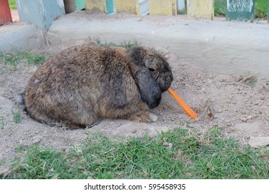 Feeding a Rabbit with Carrot in the Farm