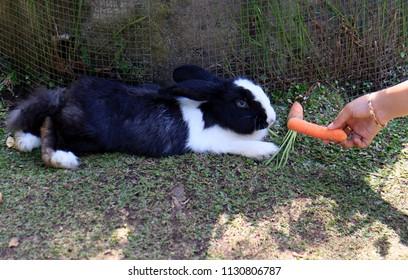 Feeding rabbit with carrots