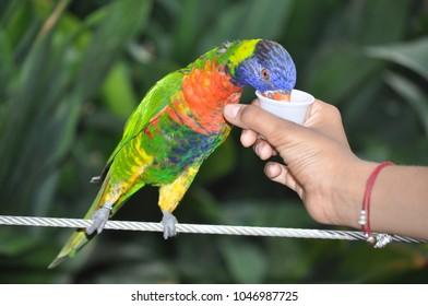 Feeding Rainbow Lorikeet