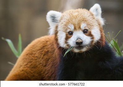 A feeding red panda (Ailurus fulgens) pauses his meal to look at the camera.