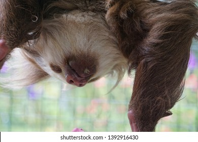 Feeding the sloth in Costa Rica