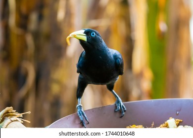 Feeding of small yellow rumped Cacique bird (latin name Cacicus cela). Bird feeder is placed on tropical tree. Small black bird with blue eyes naturaly living in Brazil rainforest.