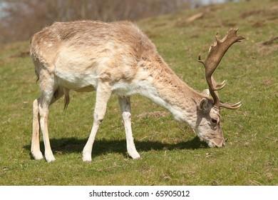 feeding stag 7797