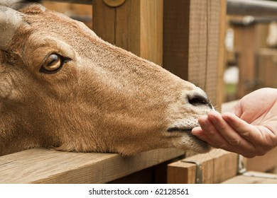Feeding Time At The Petting Zoo With A Tan Goat with Horns