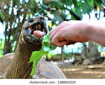 Feeding a turtle in La Vanille Nature Park