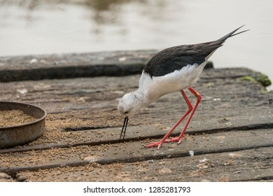 Feeding wading bird with long beak and legs Slimbridge
