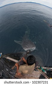 feeding the whale shark