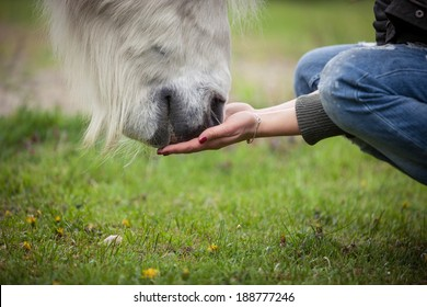 feeding a white horse with hands
