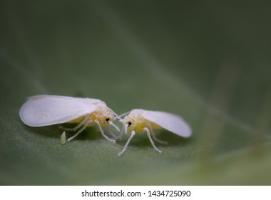 Feeding whiteflies (Aleyrodidae) at 5x magnification with an egg visible.