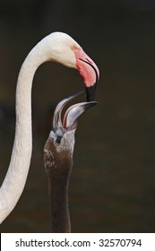 Feeding of Young Cuban flamingo