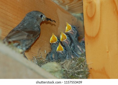 feeding young hungry birds by black redstart female in roof