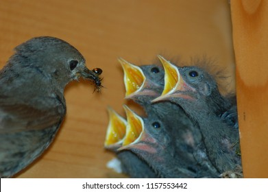 feeding young hungry birds by black redstart female