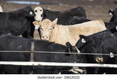 Feedlot Cows in the Muck and Mud