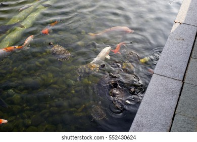 feeling Koi and turtles in the pond