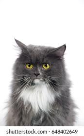 feeling persian cat on isolate