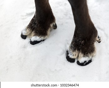Feet of the northern reindeer on white snow background