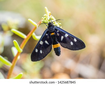Fegea - Amata phegea- Black bug of the Tuscan mountains with white spots and yellow details