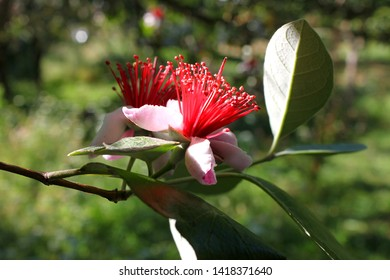 Feijoa flower close-up (Acca sellowiana)