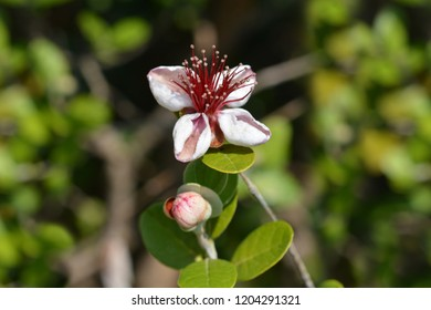 Feijoa flowers close up - Latin name - Acca sellowiana