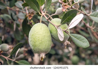 Feijoa fresh fruit on tree growing. Acca sellowiana. Tropical fruit