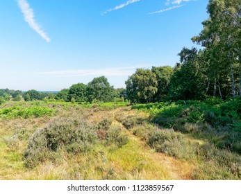 A feint track curves around a small wood passing over lush grass, heather and fern moorland. Budby South Forest, on the fringes of Sherwood Forest, in Nottinghamshire.