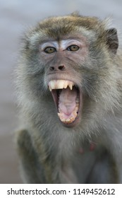 feisty  monkey with open mouth in the indonesian region
