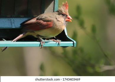 Feisty young female cardinal (Cardinalis cardinalis) claims possession of a sunflower seed at the bird feeder in spring May 2020.