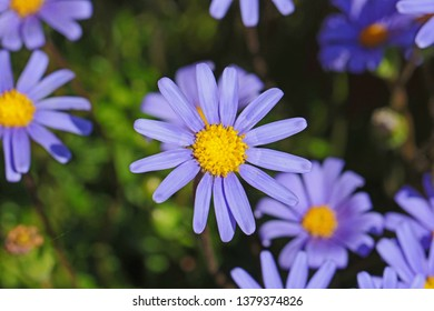 Felicia bergeriana or amelloides kingfisher daisy sometimes called a blue marguerite from the compositae family in bloom in springtime in Italy also called felica agatha by Ruth Swan