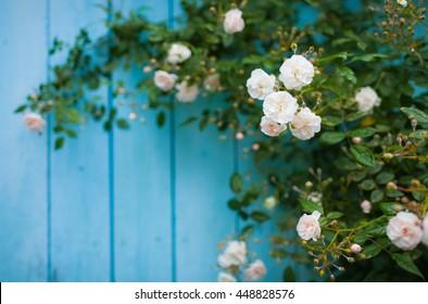 Felicite Perpetue. Climbing rose. Terry rose, creamy-white color. Summer. Gardening.