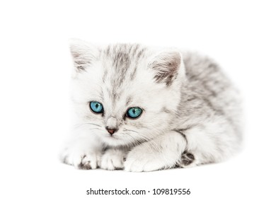Feline animal pet little british domestic silver tabby cat with blue looking eyes