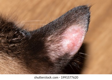 Feline dermatophytosis: a superficial fungal skin disease of cats. Ear of a cat with dermatophytosis.