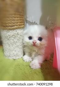 Felis catus