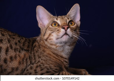 felis catus ocicat looking up