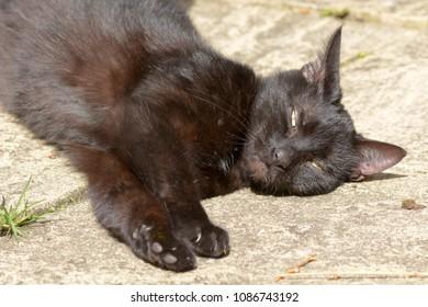 Felis catus - short haired cat in garden