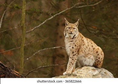Felis lynx, Lynx lynx, Eurasian Lynx, South Germany, Bavarian National Park