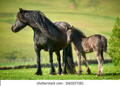 Fell Pony mare with foal in English countryside