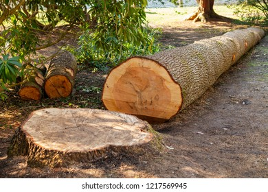 Felled, cut tree with visible tree rings