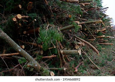 Felled pine branches in one heap. The concept of cutting down trees. Deforestation.