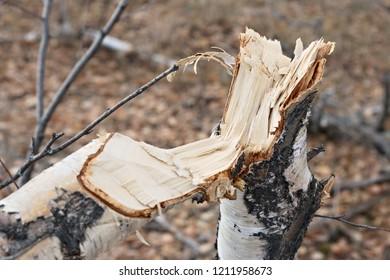 felled tree in the forest, man felling