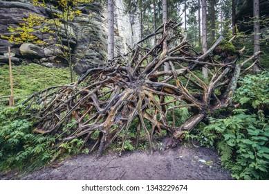 Felled tree roots in Teplice Rocks, part of Adrspach-Teplice landscape park in Czech Republic