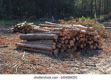 The felled trees in a forest in summer. Large-scale felling. Freshy cut and ready for transportation pine trunks. Forestry industry