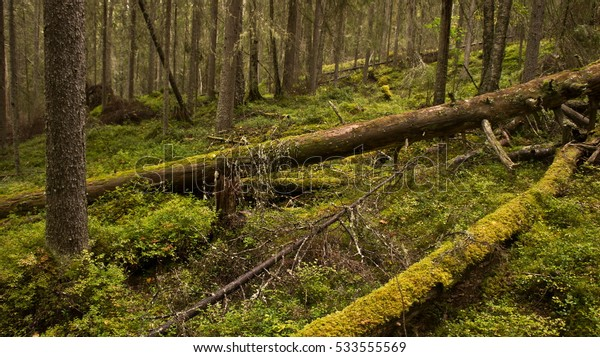 Felled trees in the Karelian forest