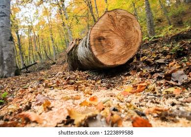 Fellen tree in atumn day. Deforestation or global warming concept.