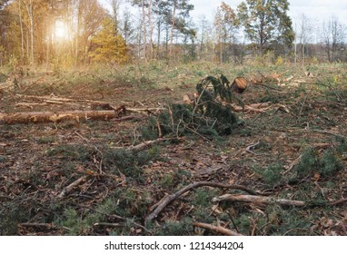 Felling and felling of the forest, fight against the forest tick, destruction of trees by the tick, ecology, principle, sun