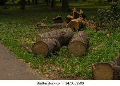 Felling trees in a city park. Felled big tree cut into large pieces. Dark background image.