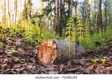 Felling of trees. Young shoots in place of a felled tree.
