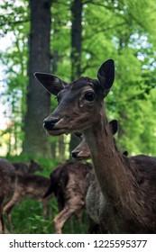 Fellow deer in Blatna park