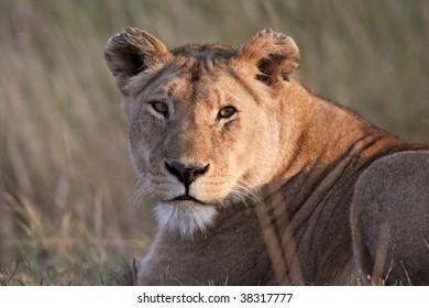 Femail lion portrait