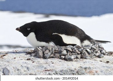 female Adelie penguin incubate in the nest on the cliff top